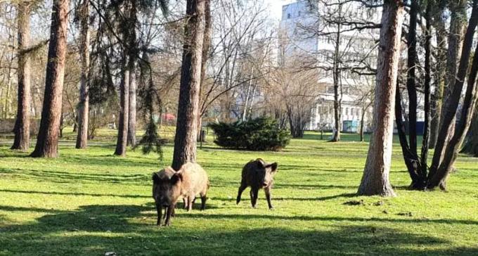 Dziki w Krakowie, jelenie w Berlinie - czyli jak zwierzęta wędrują do miast, kiedy ludzie siedzą w domach