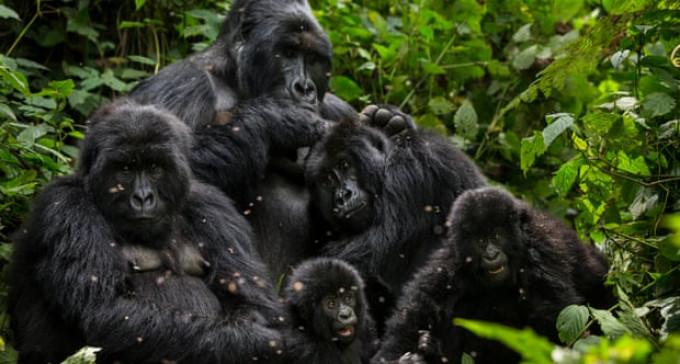 Selfie z gorylem niewskazane w czasach zarazy