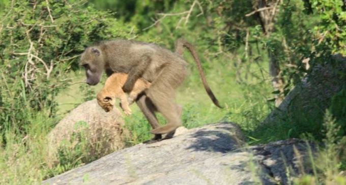 Czemu duże pawiany kradną małe lwy?