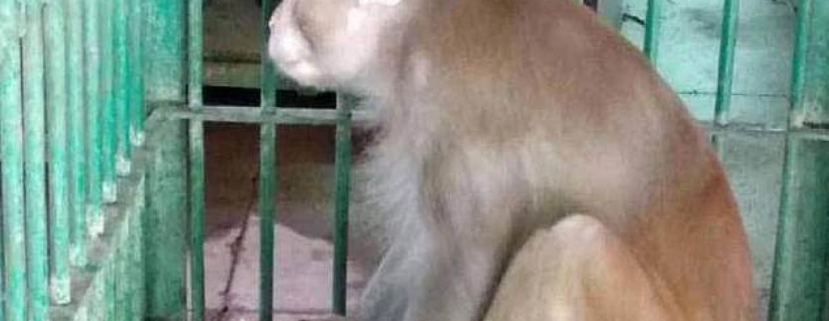 Dożywocie dla małpy-alkoholika, która na gigantycznym kacu zabiła jedną osobą, a zraniła 250