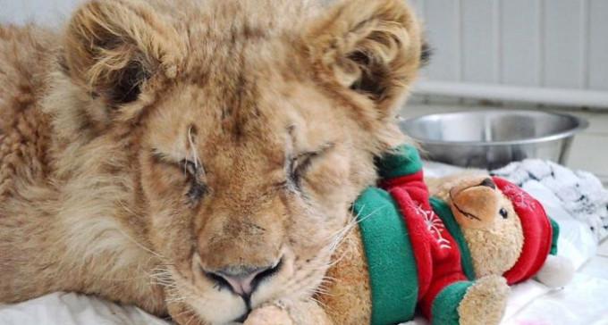 Uratowano lwiątko wykorzystywane przez turystów do robienia zdjęć