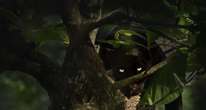 Czarna pantera, czyli kompilacja zdjęć dla fanów większych kotów