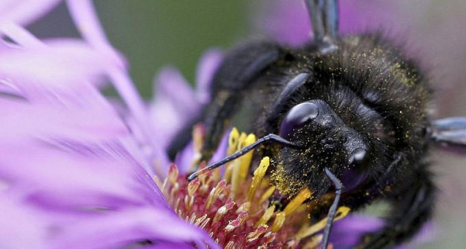 Zadrzechnia fioletowa to największa pszczoła, jaka przyfrunęła do Polski