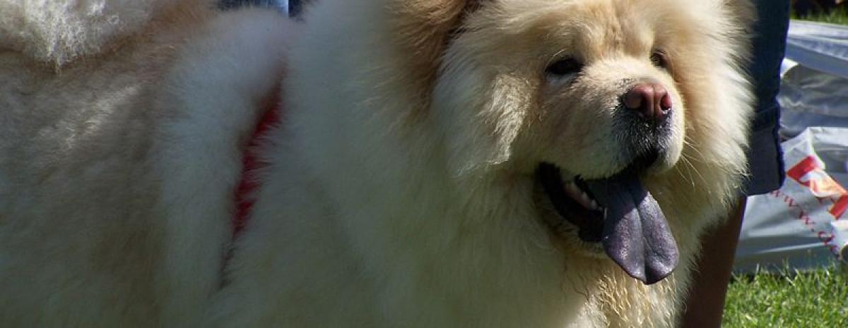 Jak zmieniły się najpopularniejsze rasy psów na przestrzeni lat?