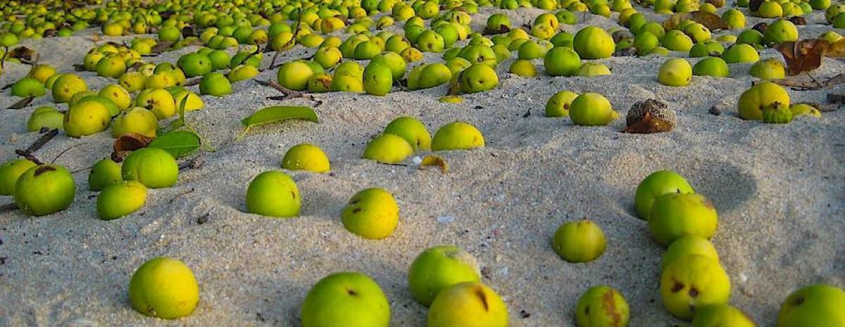 Najniebezpieczniejsze drzewo na świecie i jego pyszne, zabójcze jabłuszka