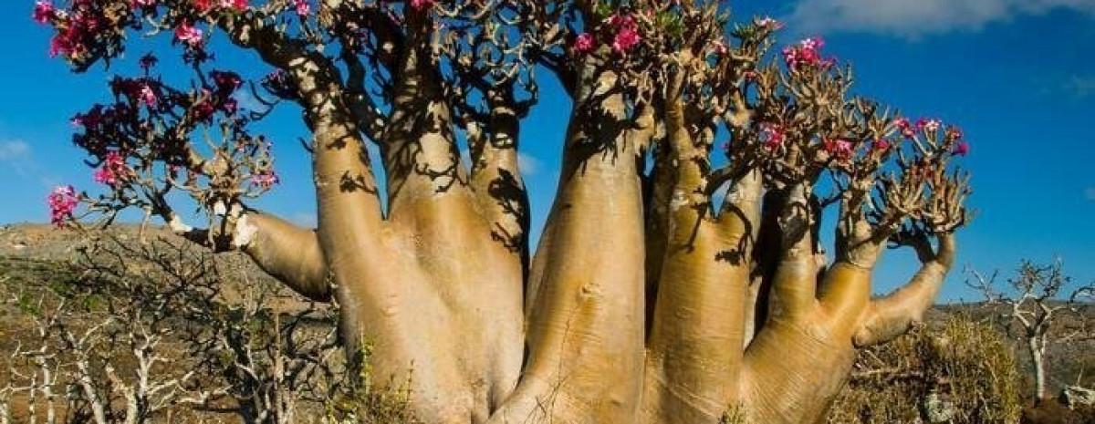 Trująca róża pustyni - piękna i niebezpieczna